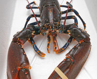 Live Lobster foto de stock
