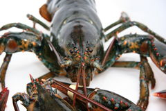 Live Lobster. About to be cooked royalty free stock photos