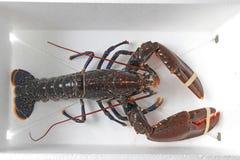 Live Lobster imagem de stock royalty free