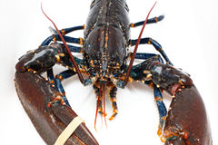 Live lobster. Front view of live lobster crustacean Royalty Free Stock Photography