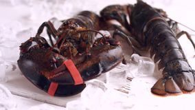 Live lobster moves his claw. stock footage
