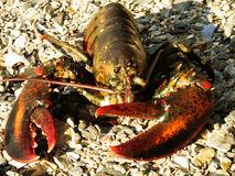 Live Lobster with Very Large Claws on the Beach Stock Photo