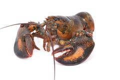 Live Lobster  on White Background Royalty Free Stock Images