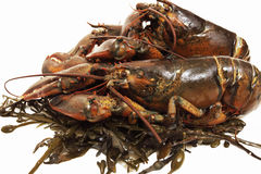 Live lobsters on algaeisolated Royalty Free Stock Photo