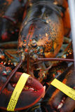 Live lobsters. Closeup of a live, uncooked lobster with banded claws Stock Photos
