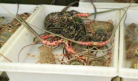 Live Lobsters en el mercado de pescados Mariscos Imagen de archivo