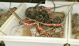 Live Lobsters at Fish Market. Seafood. Thailand stock image