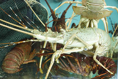 Live Lobsters i en hållande behållare Arkivbilder