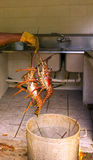 Live lobsters ready for the pot Royalty Free Stock Photos