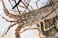 Live lobsters in tank immersed in purified sea water Stock Photography