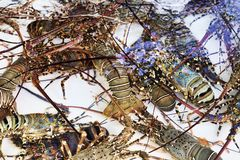 Live lobsters in tank immersed in purified sea water - Royalty Free Stock Photography