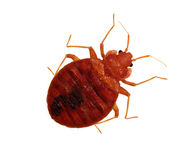 Live Macro Adult Bedbug. Macro view of an adult bedbug isolated on a white background Royalty Free Stock Photo