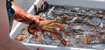 A live Maine lobster being pulled out of a bin of lobsters Royalty Free Stock Images