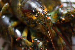 Live Maine Lobster Stock Photography