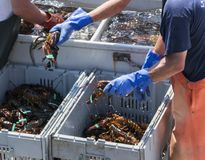 Live Maine Lobsters being sorted by fishermen. Fisherman sorting live Maine lobsters in to bins by size stock image
