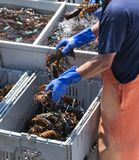 Live Maine-zeekreeften op georganiseerd op een boot worden vervoerd die stock foto