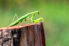 Live mantis religiosa. Portrait of live mantis religiosa Royalty Free Stock Images