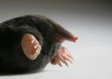 Live mole Royalty Free Stock Image
