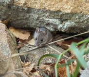 Live mouse on stone and grass Stock Photography