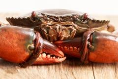 Live Mud Crab Images libres de droits