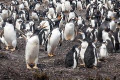 Live Music Concert In The-Kolonie van Gentoo-Pinguïnen stock afbeelding