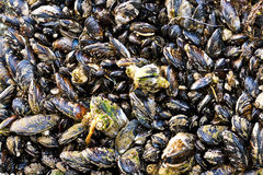 Live Mussel Colony. A colony of mussels, the shellfish, growing attached to a rock near the sea Royalty Free Stock Photos