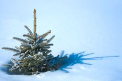 Live natural fur-tree on snow Stock Image