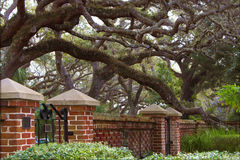 Live Oak Stock Photography