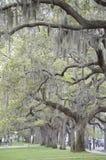 Live Oak Stockbild
