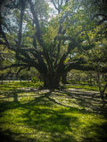 Live Oak Photo libre de droits
