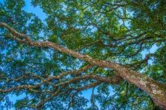 Live Oak Lizenzfreies Stockfoto