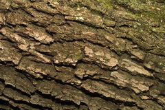 Live Oak Bark. With some fungus on it royalty free stock images