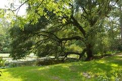Live Oak Branch Lizenzfreie Stockfotografie