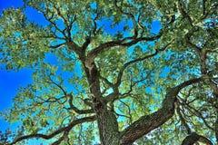 Live Oak drzewo Fotografia Stock