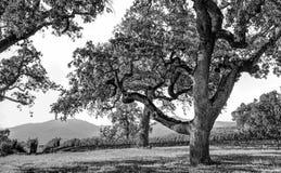 Live Oak en el valle Fotografía de archivo