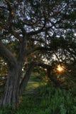 Live Oak en la puesta del sol Fotos de archivo