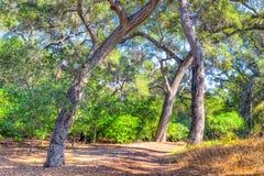 Live Oak Forest mit Forest Floor Stockfotos
