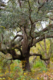Live Oak Royalty Free Stock Photos