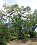 Live Oak moss Stock Photography