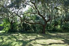 Live oak with moss hanging from it royalty free stock photo