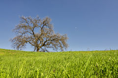 Live Oak On Mulholland Royalty Free Stock Photo