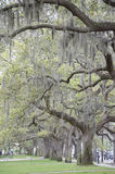 Live Oak Stock Image
