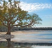 Live Oak on the Shore. Old live oak tree on shore by pretty water Stock Image