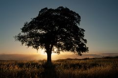 A live oak is silhouetted in front of the golden light of sunset. stock photo