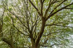 Live Oak Tree Fotografie Stock