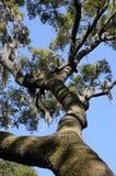 Live Oak Tree. Looking towards a blue sky through a Live Oak Tree stock photo