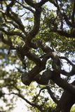 Live oak tree. stock photos