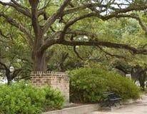Live Oak Tree Stock Photography