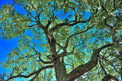 Live Oak Tree Fotografia Stock