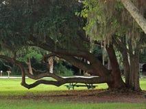 Live Oak Tree Arkivfoto